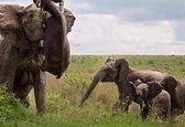 انتقام سخت فیل بزرگ از بوفالوی قاتل +عکس