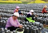 خشک کردن قارچ سیاه خوراکی در چین +عکس