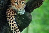 تصویر بی نظیر از یک پلنگ روی درخت!