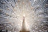 طاووس سفید در باغ وحش +عکس