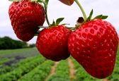 این میوه داروی ژاپنی ها برای درمان زخم  است