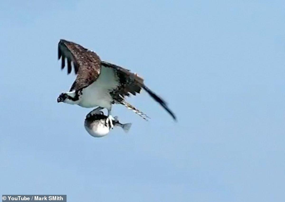 شکار ماهی بادکنکی به دست عقاب سرسفید +فیلم