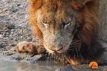 لاک پشت جسور مانع نوشیدن آب توسط شیر شد +عکس